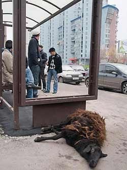 Последствия массового забоя баранов в Москве