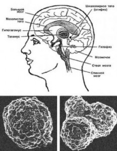 Квантовый компьютер в головном мозге человека